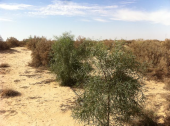 Waste water irrigation for fodder production in the desert